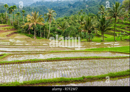 Rice terraces on the slope of the Kawah Ijen, Ijen crater, Banyuwangi, East Java, Indonesia - Stock Photo