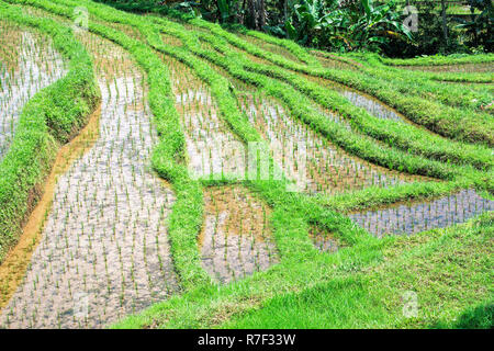 Gunung Batukau rice fields, Bali, Indonesia - Stock Photo
