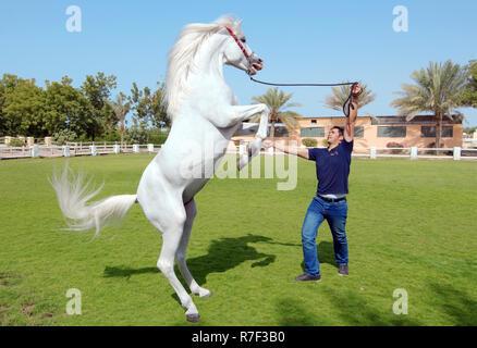 Arabian or Arab horse standing on hindlegs, emirate of Sharjah, United Arab Emirates - Stock Photo
