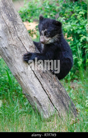 Spectacled bear, Andean bear (Tremarctos ornatus) young animal climbing, captive - Stock Photo