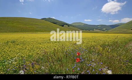 agricultural and blooming field in Pian Piccolo karst Plan, near Castelluccio di Norcia, Italy. Sibillini mountains in background - Stock Photo