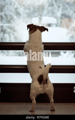 Dog looking through window at fairy snowy view waiting for owner - Stock Photo