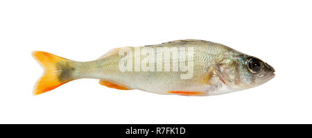 Fish. Fresh raw fish isolated on white background - Stock Photo