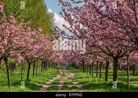 Cherry alley, Teltow, near Berlin, Mauerweg, wall path, Brandenburg,  Germany - Stock Photo