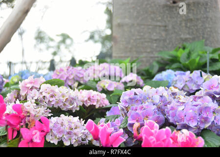 Beautiful Purple Hydrangea Flowers in the Garden - Stock Photo