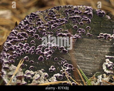 purple wood and tree fungi - Stock Photo