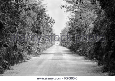 Shimmering heat waves and dust raised by oncoming truck on dirt road in Big Cypress National Preserve - Stock Photo