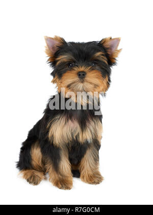 One cute puppy of the Yorkshire Terrier sits on isolated white background - Stock Photo
