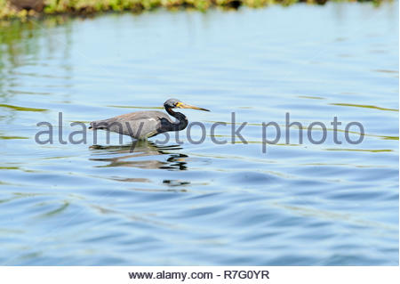 Tricolored Heron wading near its limit in small waves - Stock Photo