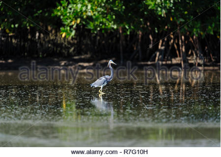 Tricolored Heron wading in tide pool at Fort De Soto - Stock Photo