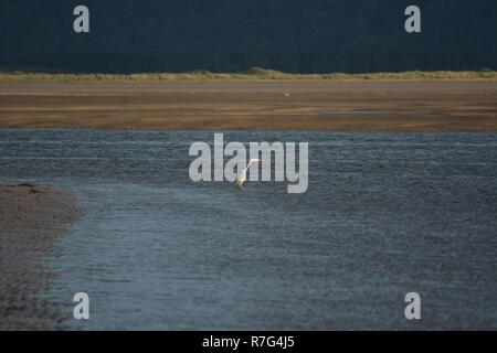 Grey Heron on Blackrock Sands - Stock Photo