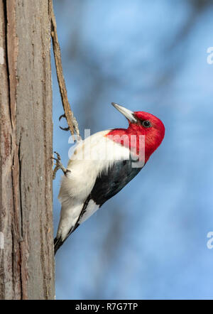 Red-headed woodpecker (Melanerpes erythrocephalus) adult feeding on a tree trunk in winter, Iowa, USA - Stock Photo