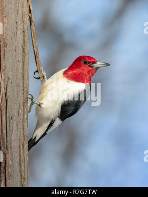 Red-headed woodpecker (Melanerpes erythrocephalus) adult looking around, Iowa, USA - Stock Photo