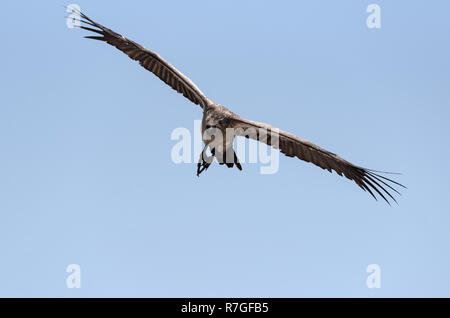 a white-backed vulture in flight, botswana, africa - Stock Photo
