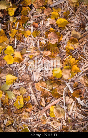 yellow autumn leaves on the wood chips with vignette. background, nature. - Stock Photo