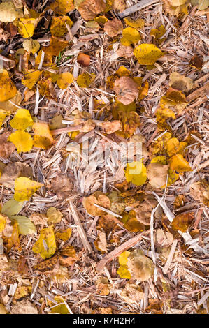 yellow autumn leaves on the wood chips. background, nature. - Stock Photo