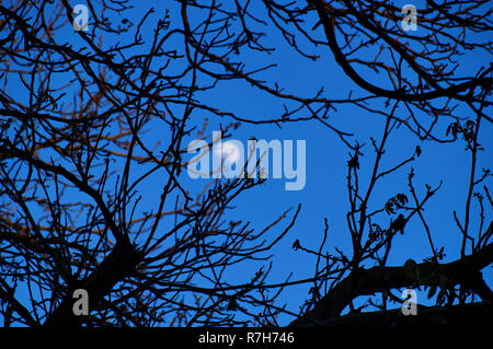 Goodbye day. Hello night. Vague Moon looking at Earth through the bare tree branches. - Stock Photo