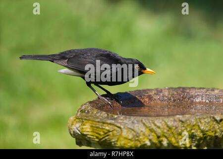 Common male Blackbird Turdus merula drinking from a garden bird bath in summer - Stock Photo