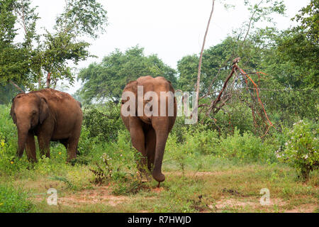 Two curious Elephants inside the udawalawe national park, Sri La - Stock Photo