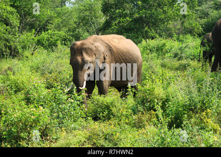 Lonley juvenile asian elephant in the udawalawe national park, S - Stock Photo