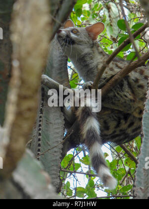 common genet (Genetta genetta) in a tree. The common genet is a solitary carnivore that inhabits woodlands. It is arboreal, resting in trees during th - Stock Photo