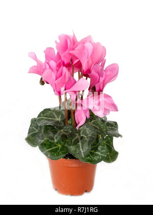 Cyclamen persicum, the Persian cyclamen, is a species of flowering herbaceous perennial plant - Stock Photo