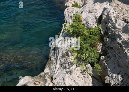 Crithmum maritimum on the rocks - Stock Photo