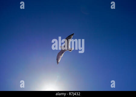 Seagull in flight on a blue sky background. Photographed on the Greek island of Thasos, Greece - Stock Photo