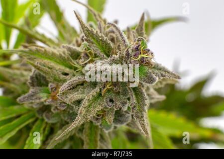 Macro view of the indica heavy, Berry White, a popular marijuana strain. - Stock Photo