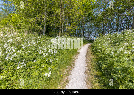 White walking track through field of Cow Parsley (Anthriscus sylvestris) flowers in recreational park in the Netherlands, Europe - Stock Photo