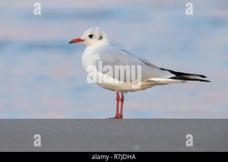 Black-headed Gull (Chroicocephalus ridibundus), side view of an adult in winter plumage standing on the shore - Stock Photo