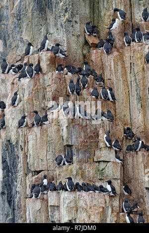 Thick-billed Murres (Uria lomvia) or Brunnich's guillemots colony, Alkefjellet bird cliff, Hinlopen Strait, Spitsbergen Island, Svalbard archipelago,  - Stock Photo
