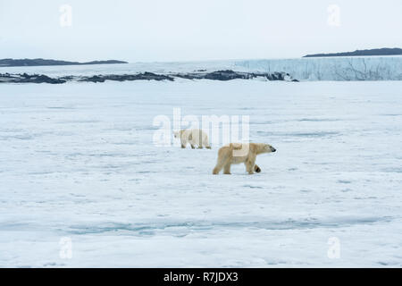 Two Polar Bears, adult and young, turning in circles and observing each other, Svalbard Archipelago, Norway - Stock Photo