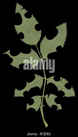 These rose leaves are damaged by leaf-cutting bees. They are solitary bees, the females of which use pieces leaf to construct cells within their nests - Stock Photo