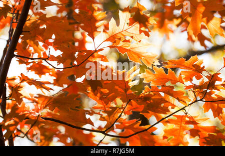 Beautiful Red oak leaves background. Autumn foliage colorful orange brown leaves, sunny day forest scene. Selective focus. - Stock Photo