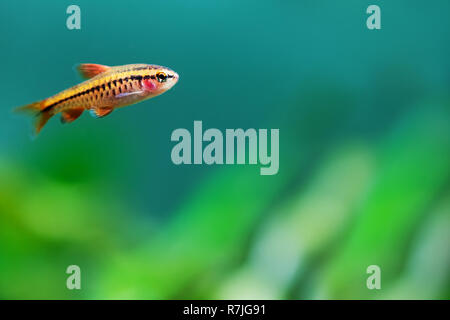 Aquarium tank still life scene. Young female fish red barb Puntius titteya close-up. Shallow depth of field. - Stock Photo