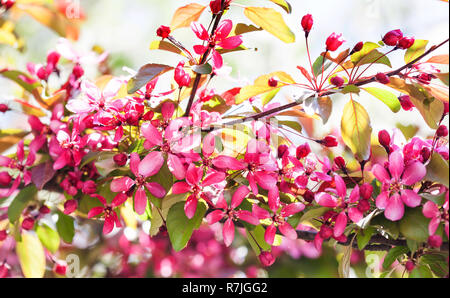 Cherry blossom spring time sunny day garden landscape. Blossoming purple petals fruit tree branch, tender blurred green bokeh background. Shallow depth of field - Stock Photo