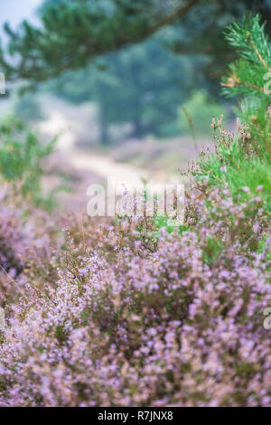 Foggy morning in the heather fields in the Veluwe National Park, Netherlands. - Stock Photo
