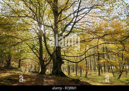 Beech trees in autumn sunshine, Lake District, Keswick, Cumbria, England, UK - Stock Photo