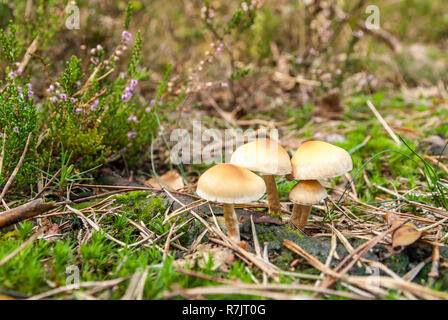 Mushrooms in an autumn forest in a sunny day at the Netherlands - Stock Photo
