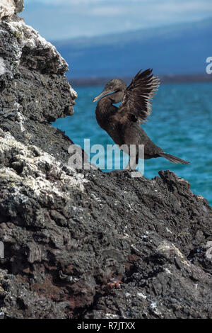 Flightless Cormorant (Phalacrocorax harrisi), Elisabeth Bay, Isabela Island, Galapagos, Ecuador - Stock Photo