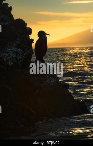 Flightless Cormorant (Phalacrocorax harrisi) at dusk, Elisabeth Bay, Isabela Island, Galapagosinseln, Ecuador - Stock Photo