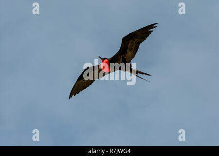 Great Frigatebird (Fregata minor), male in flight, Genovesa Island, Galápagos Islands, Ecuador - Stock Photo