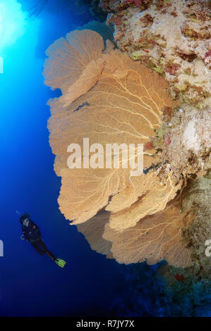 Diver looking at Venus Fan (Gorgonia flabellum), Red Sea, Egypt - Stock Photo