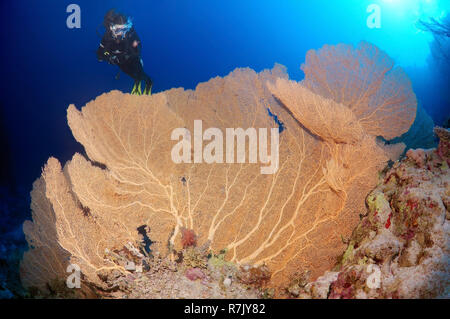 Scuba diver looking at a Venus Fan (Gorgonia flabellum), Red Sea, Egypt - Stock Photo