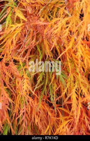 Acer palmatum 'Dissectum Atropurpureum'  Red Ribbonleaf Japanese Maple in autumn, UK garden - Stock Photo