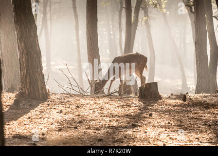 Young Fallow deer in the early morning light on the Dutch Hoge Veluwe - Stock Photo