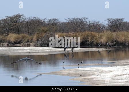 Marabou storks on the Nata River in the Nata Sanctuary, Botswana - Stock Photo