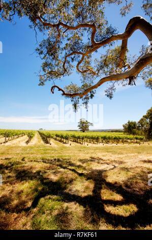 Australia, South Australia, Mac Laren vineyard - Stock Photo