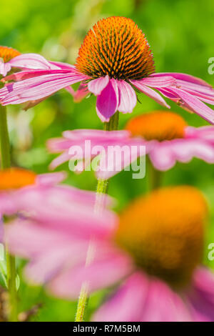 Close-up of beautiful Purple Coneflowers (Echinacea) on a natural green Background. - Stock Photo